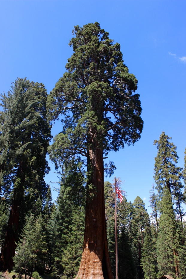 The giant Sequoias are the largest single trees n the world and largest living thing by volume. They can live up to 3000 years!