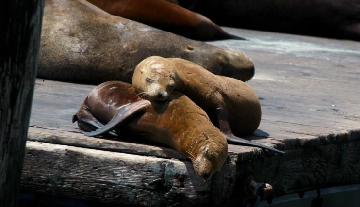 San Francisco, CA. The cute Sea Lions at Pier 39.