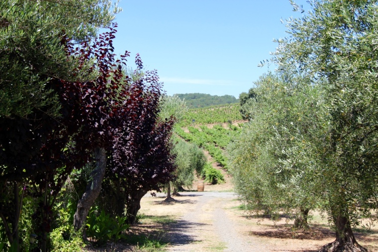 Sonoma Valley. Glenn Ellen, CA. B.R. Cohn Winery and Olive Oil Company