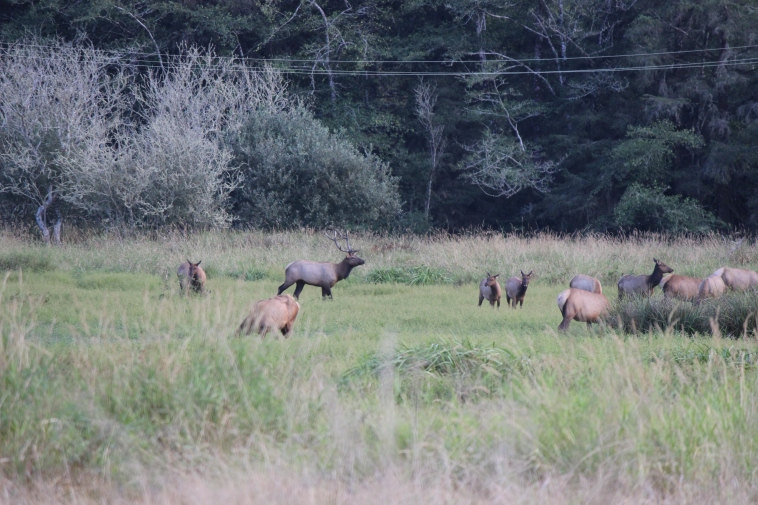 A herd of Roosevelt Elk in Elk Meadow.