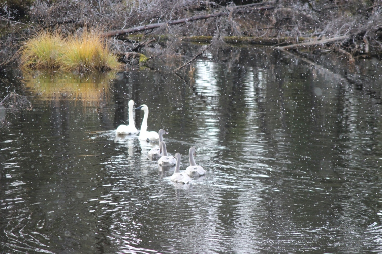A family of Trumpeter Swans getting ready to head South for the winter.