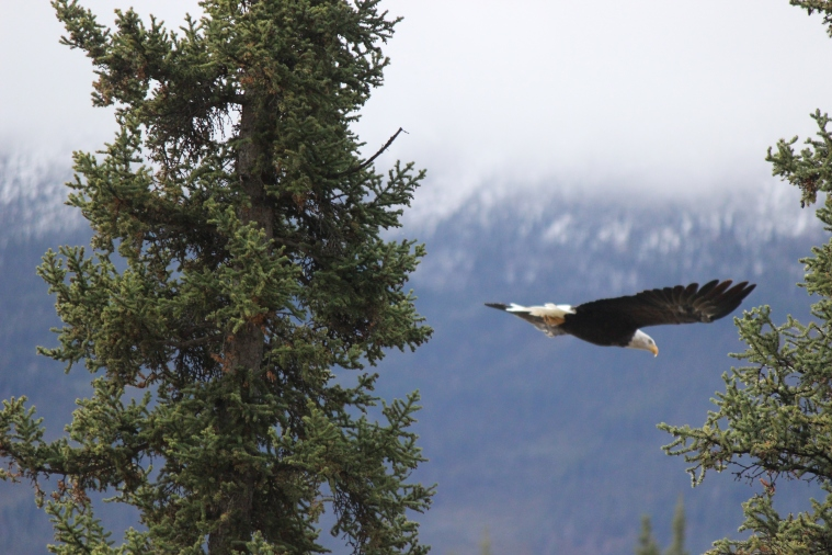 A Bald Eagle somewhere in Yukon on the Alaska Highway.